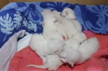 Felicia's B litter at one day old 4/29/14