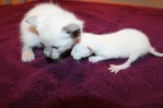 kitten from felicia's 4/28 litter and asteria's 5/22 litter