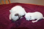 kitten from felicia's 4/28 litter and asteria's 5/22 litter