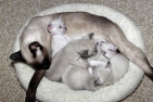 Andie and kittens at 3 weeks - 9/18/2014