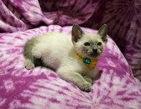 Felicia's 12/26/16 kittens on 3/6/2017